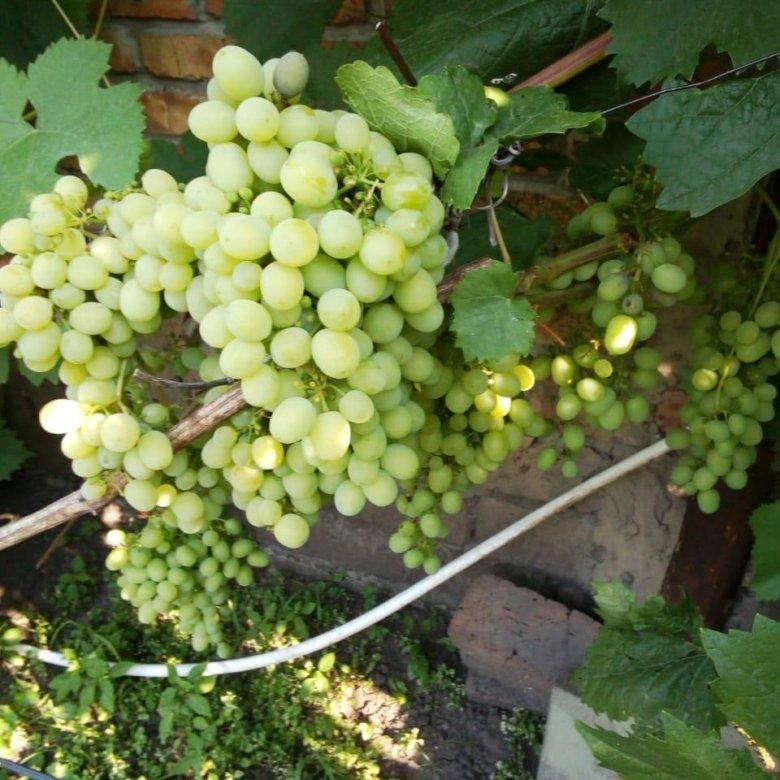 зрения саженцы винограда в новосибирске фото стоит