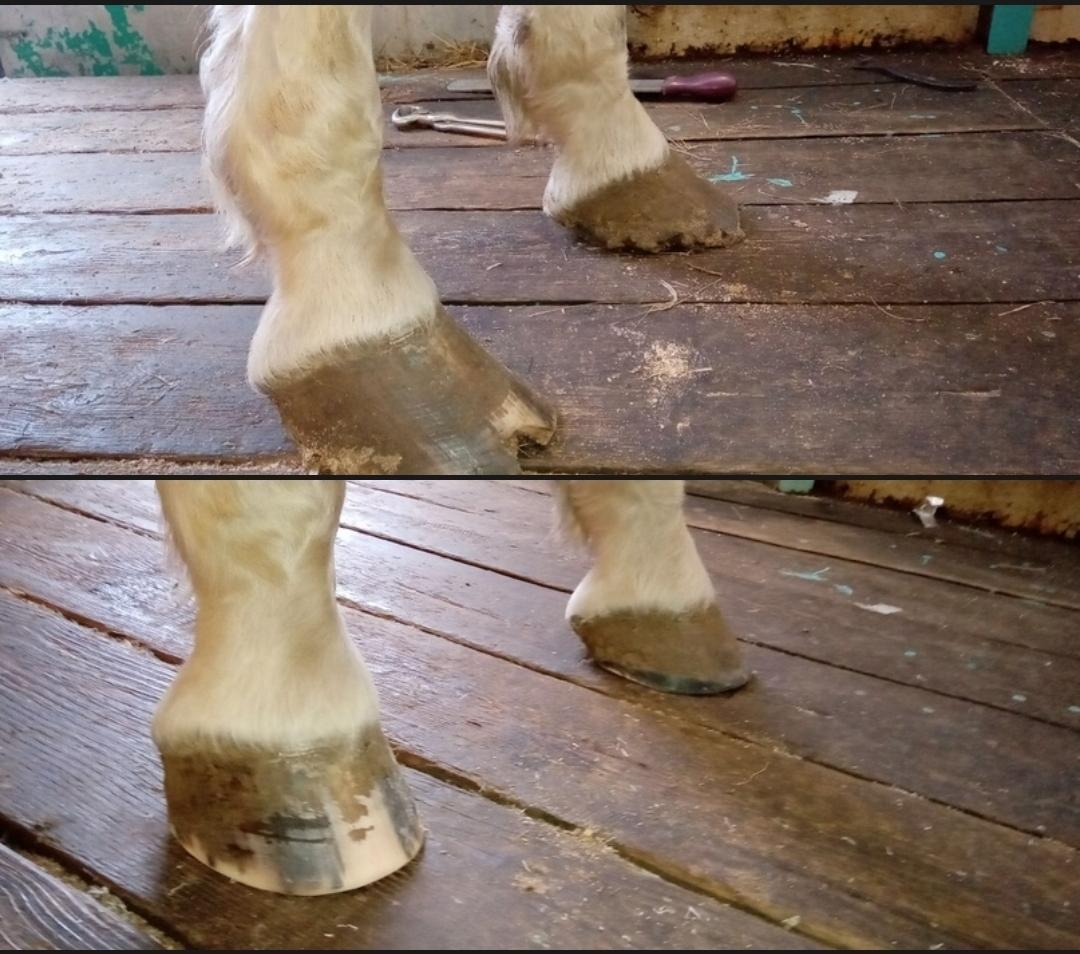 Расчистка и ковка лошадей в Москве 89019832969 купить 2