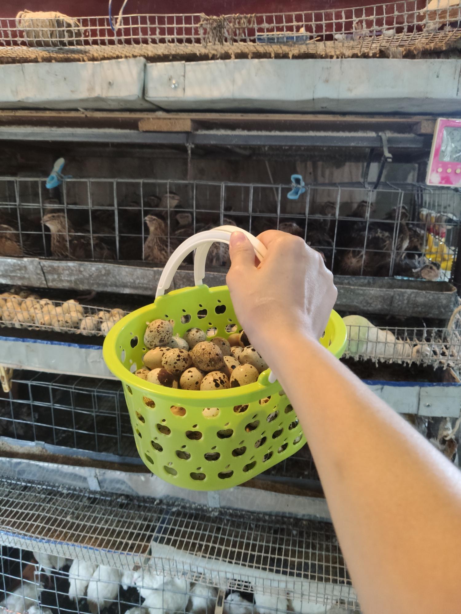 Яйца перепелки 4 р в Нахабино купить 1