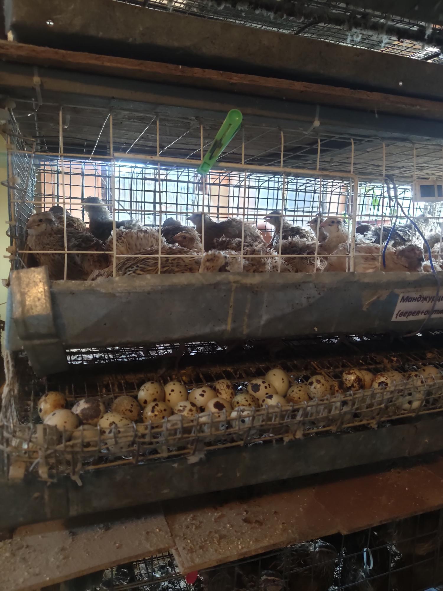 Яйца перепелки 4 р в Нахабино купить 2