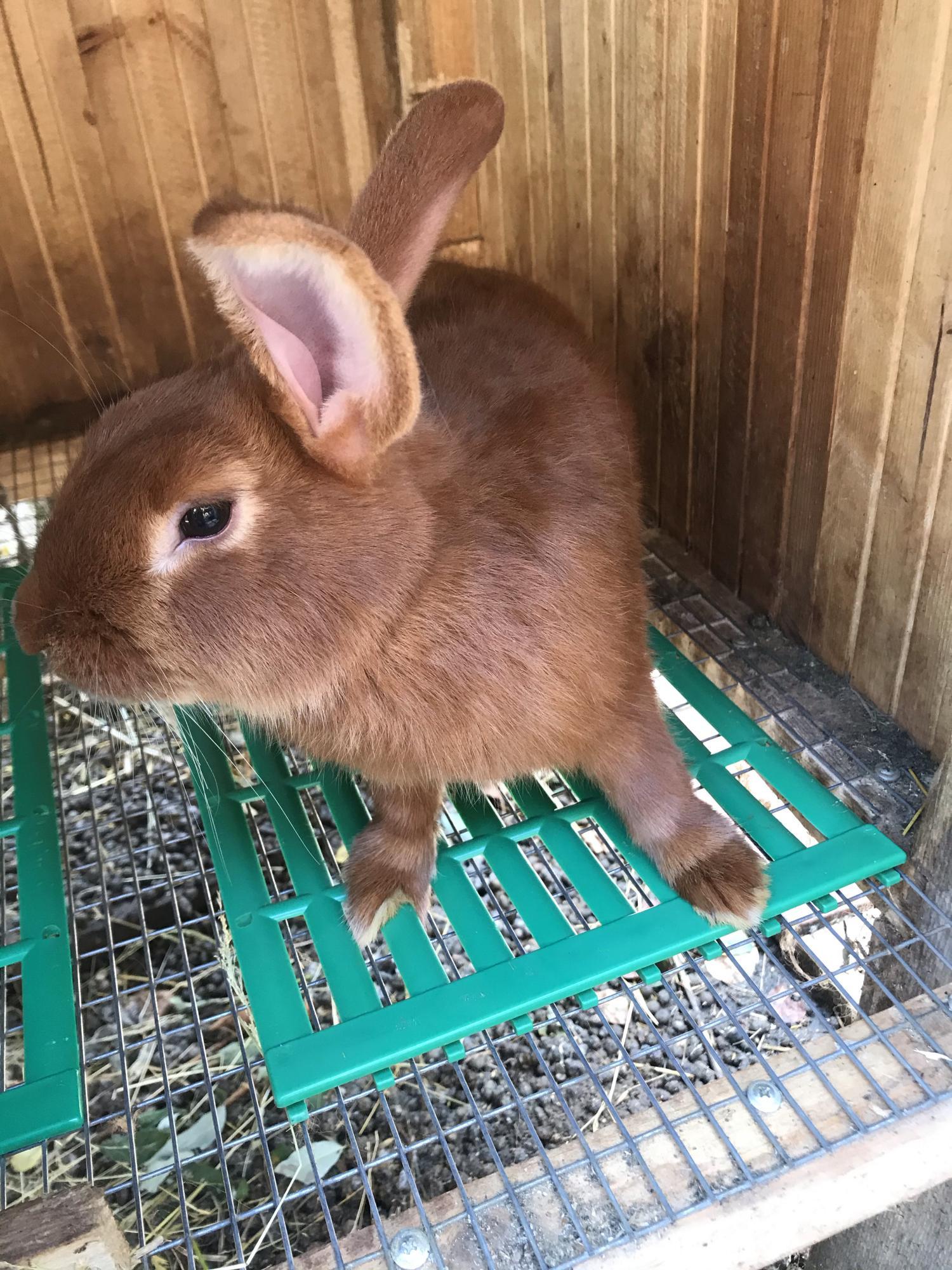 Кролики новозеландские в Москве 89036742588 купить 1