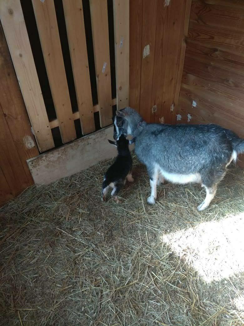 Камерунская коза. в Домодедово 89260310309 купить 2