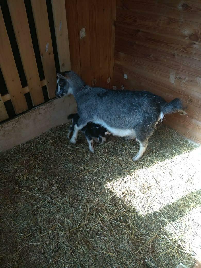 Камерунская коза. в Домодедово 89260310309 купить 3