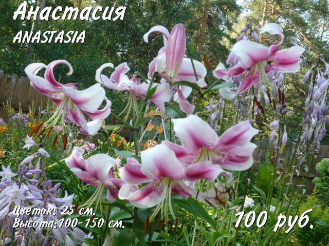 Лилия ОТ-гибрид Анастасия 89265989424 купить 1