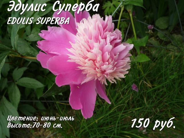 Пион Эдулис Суперба 89265989424 купить 1