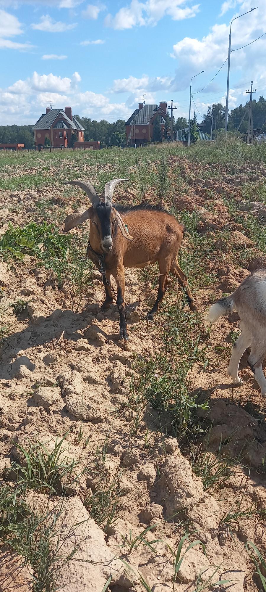 Продам племенного козла (2 года) купить 3