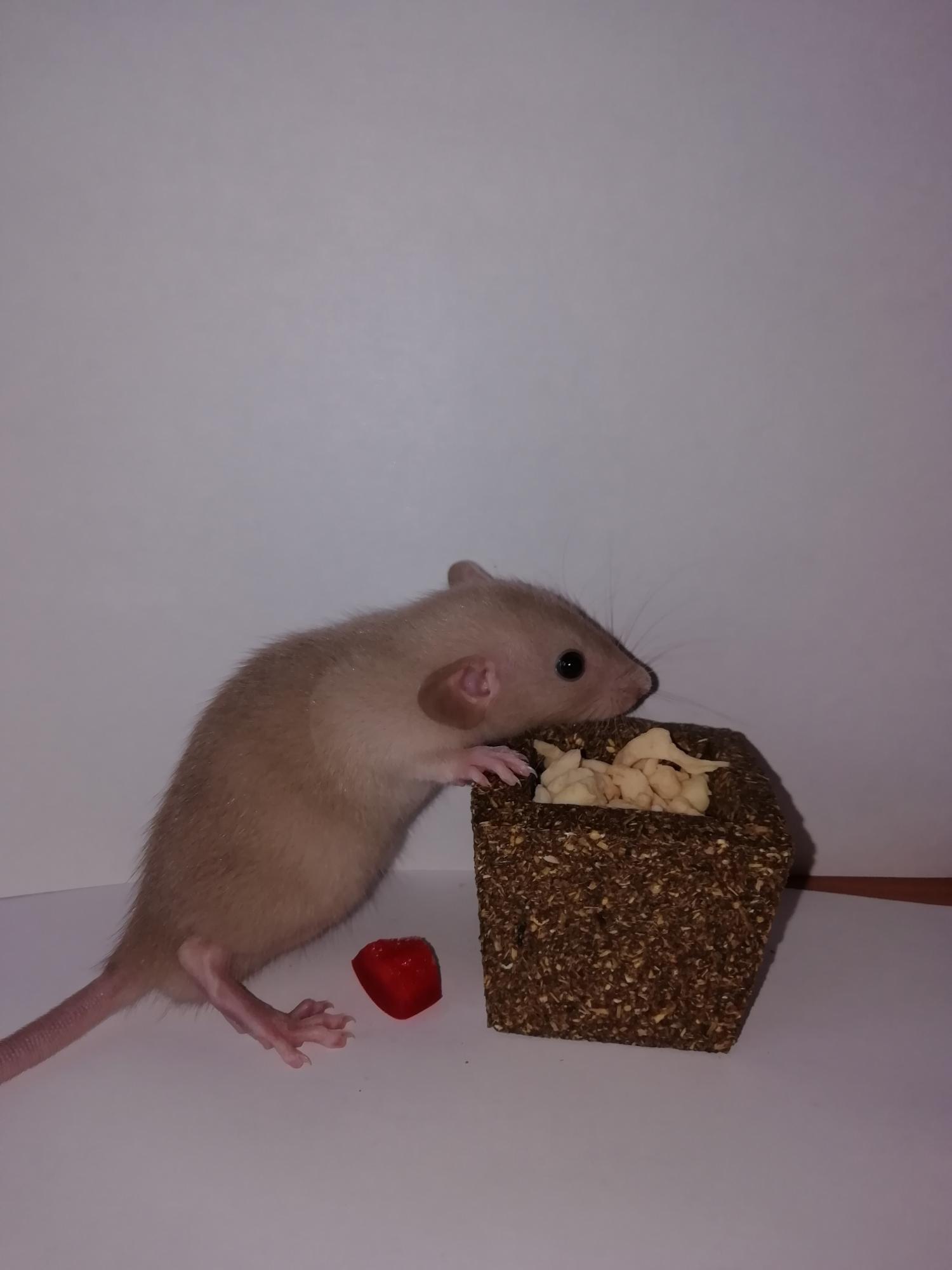 Крысята сиамские,дамбо в Москве 89588173988 купить 2