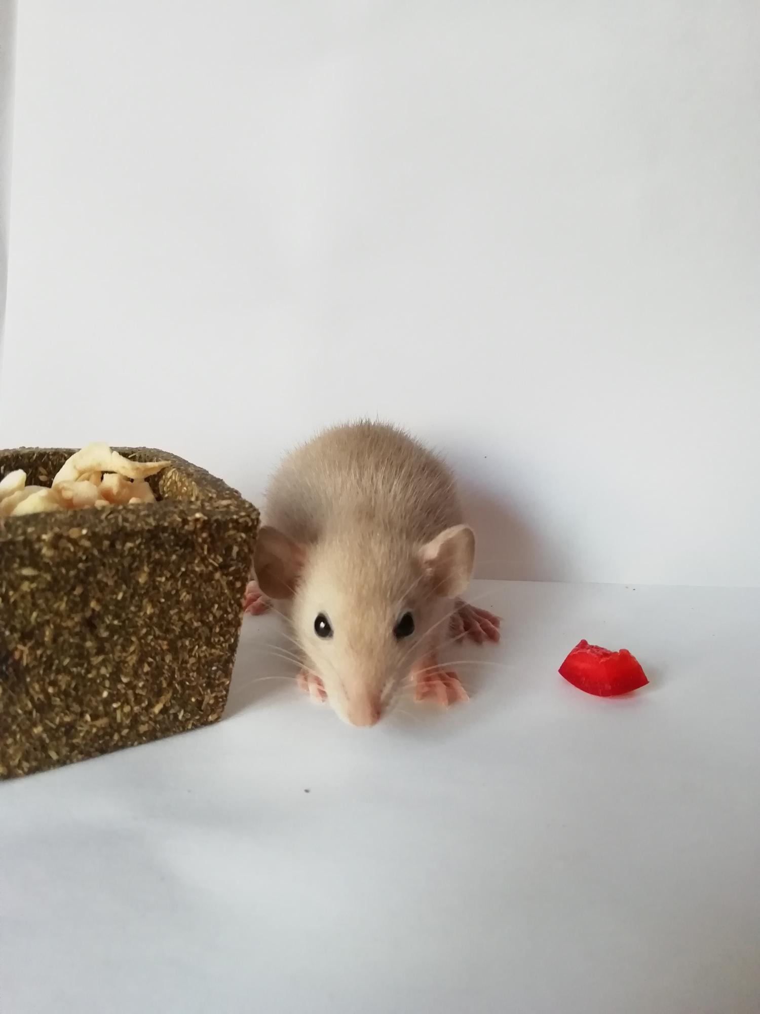 Крысята сиамские,дамбо в Москве 89588173988 купить 3