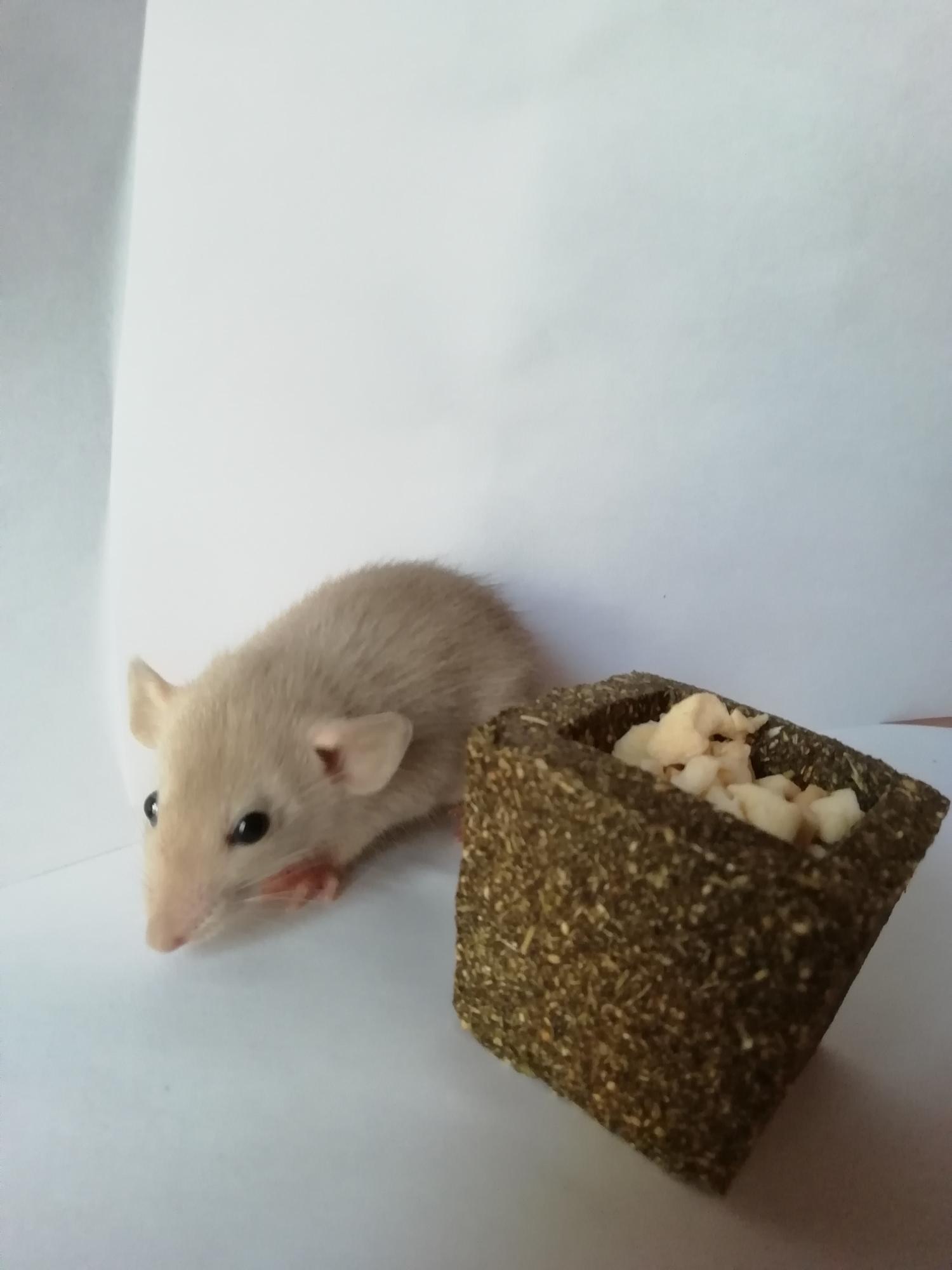 Крысята сиамские,дамбо в Москве 89588173988 купить 4