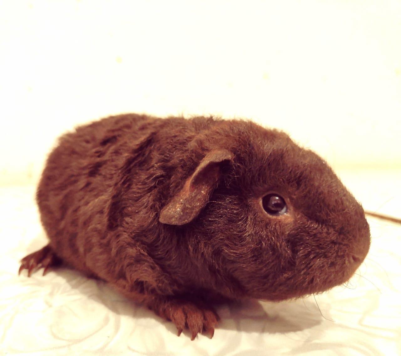 Шоколадный морской свин в Москве 89778905001 купить 1