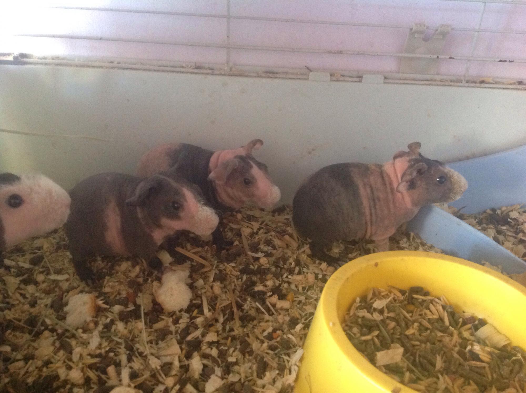 Морская свинка Скинни в Жуковском 89031384437 купить 1