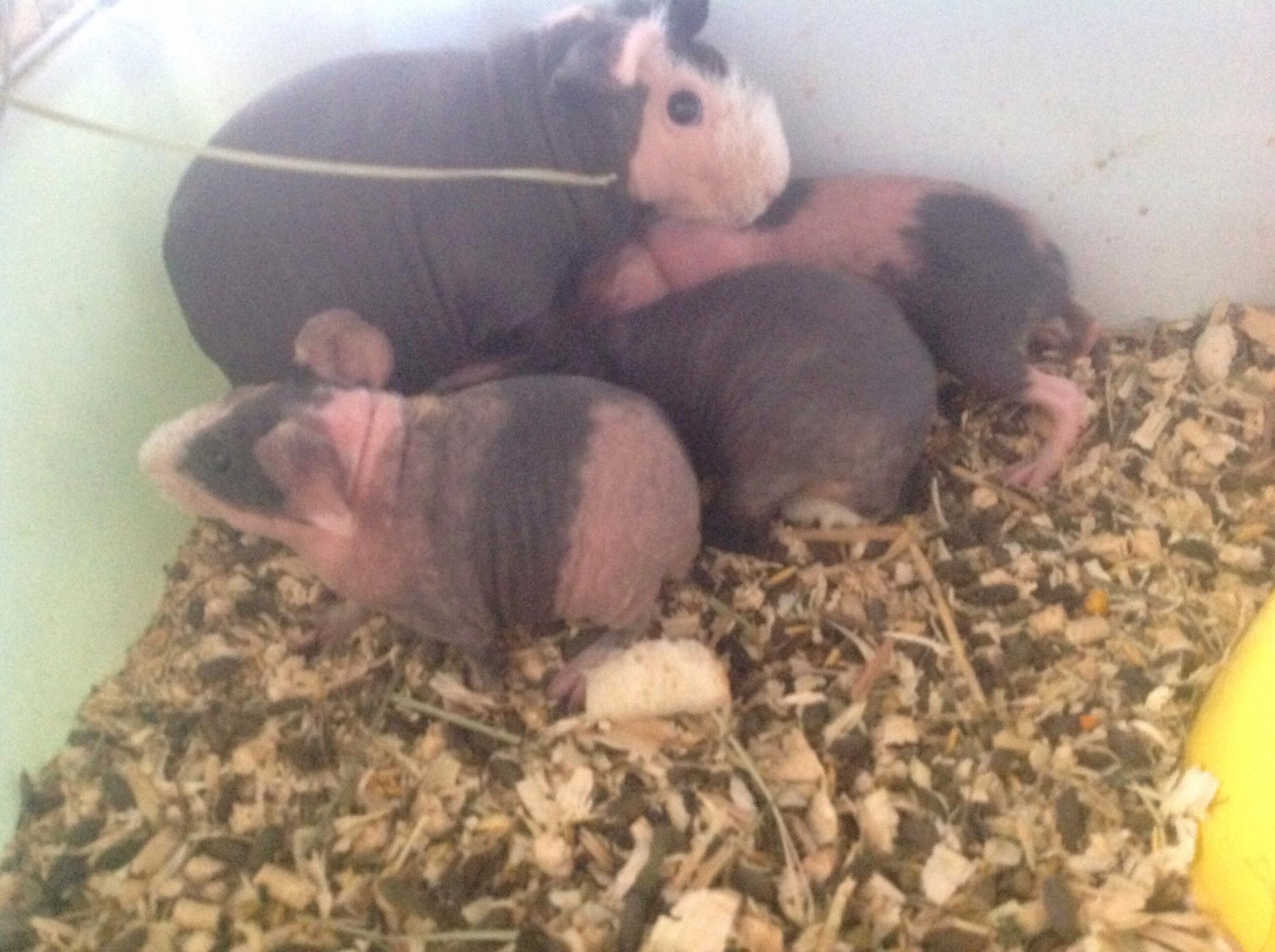 Морская свинка Скинни в Жуковском 89031384437 купить 2
