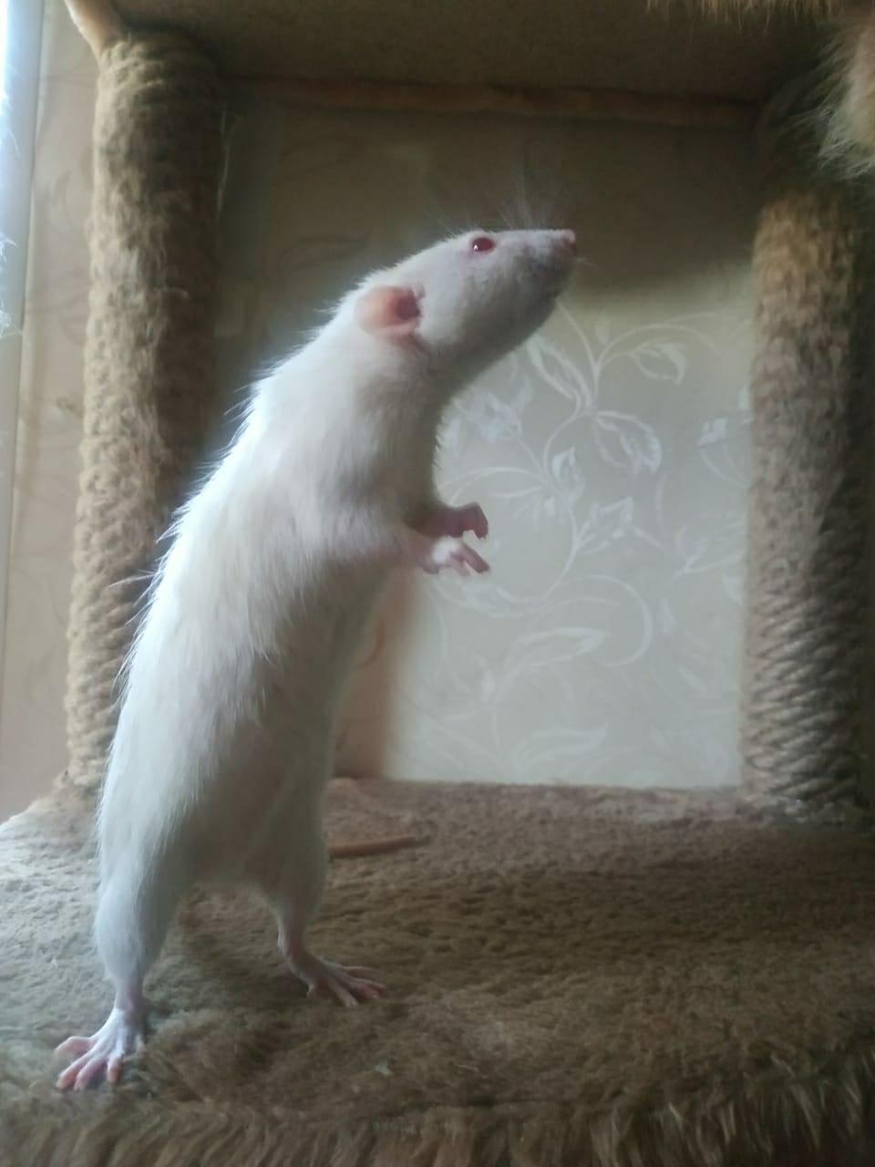 Крысы в Зеленограде 89998297963 купить 1