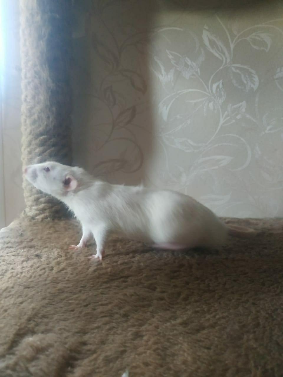 Крысы в Зеленограде 89998297963 купить 2