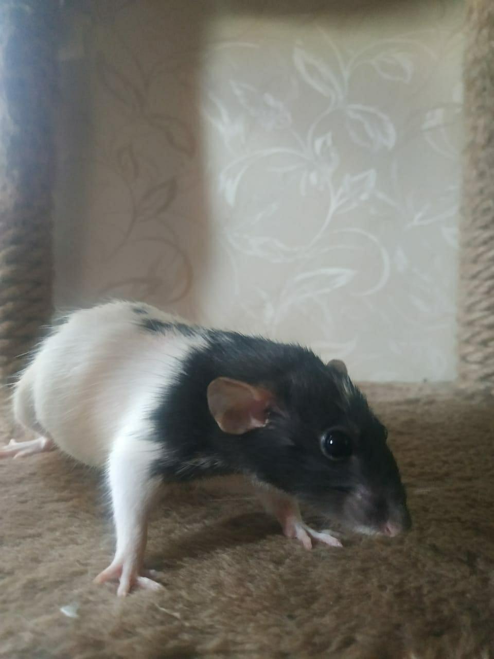 Крысы в Зеленограде 89998297963 купить 3